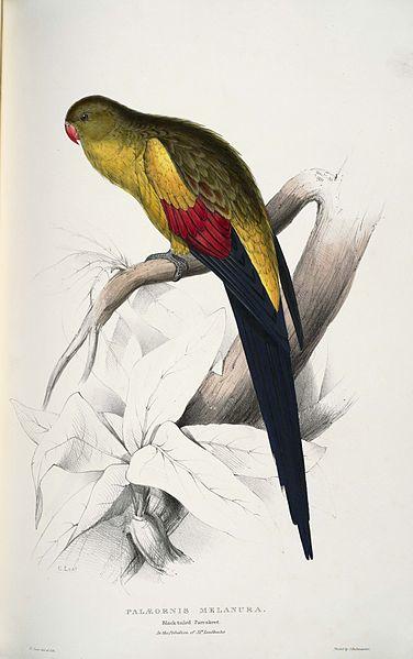 Palaeornis melanura, Black-tailed Parrakeet by Edward Lear