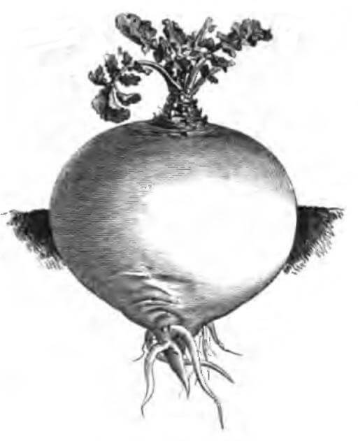 An illustration for the story The Turnip by the author The Brothers Grimm