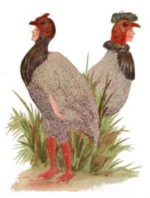 Elizabeth Gordon, Bird Children, guinea hen