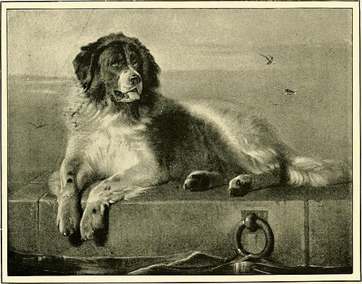 Newfoundland portrait in a natural history of British dogs