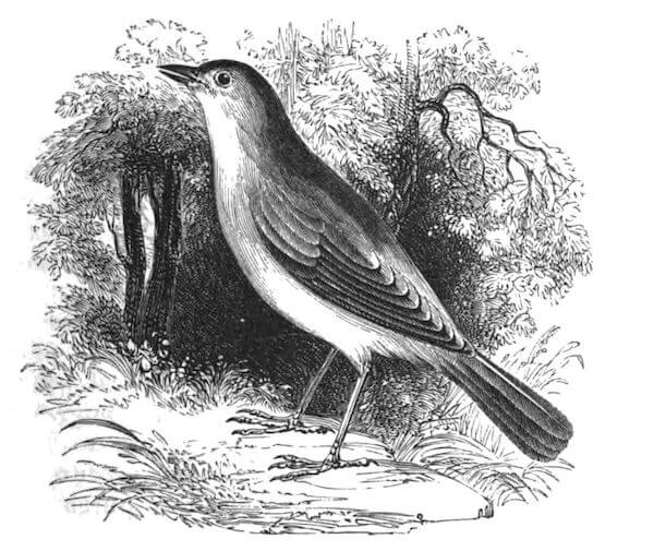 An illustration for the story The Poet And The Bird by the author Elizabeth Barrett Browning