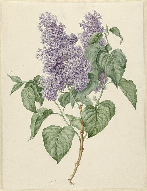 When Lilacs Last in the Dooryard Bloom'd painting by Maria Geertruida Snabilie