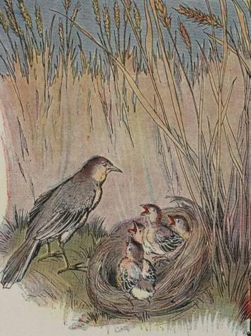 An illustration for the story The Lark And Her Young Ones by the author Aesop