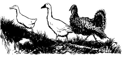 Henny-Penny: The Sky is Falling fowl