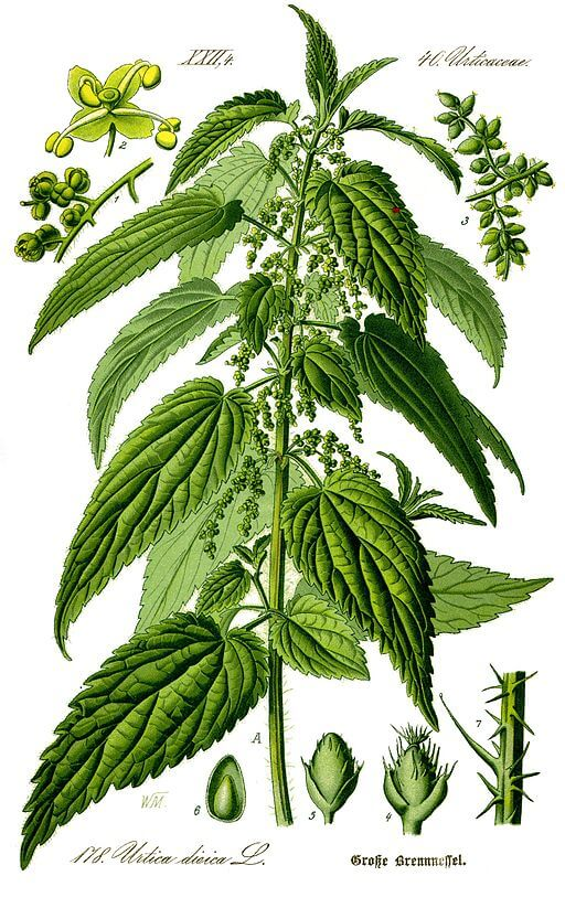 An illustration for the story The Boy And The Nettle by the author Aesop