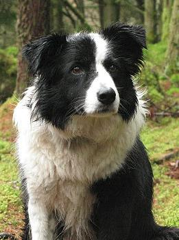 The Dog, sheepdog portrait