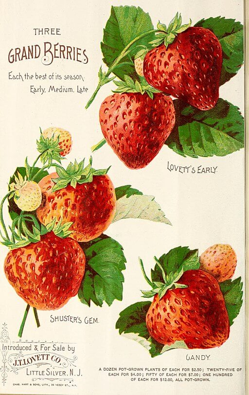 The Indian Summer of Dry Valley Johnson, strawberry catalog, J.T. Lovett, 1891