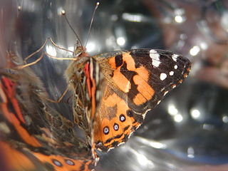 The Lady, or the Tiger? Study Guide: Nathan Hurst, Painted Lady Butterfly