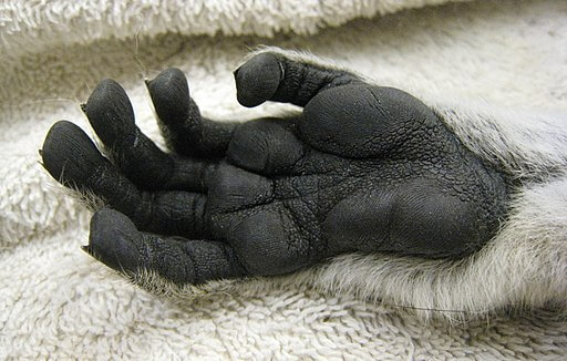 The Monkey's Paw, lemur hand