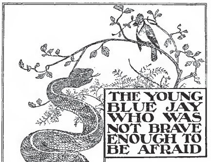 An illustration for the story The Young Blue Jay Who Was Not Brave Enough to Be Afraid by the author Clara Dillingham Pierson